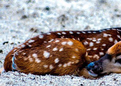 Deer-0811