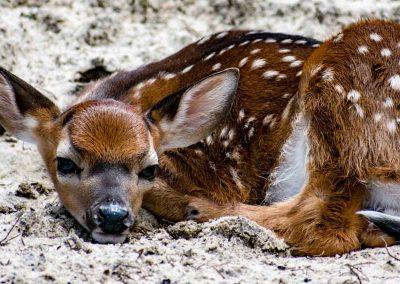 Deer-0826