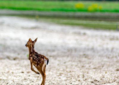 Deer-0833